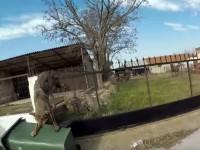 Καρέ – καρέ η διάσωση λύκαινας που εγκλωβίστηκε σε κάγκελα σπιτιού στον Καστανά
