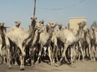 Καταδικασμένος για βιασμό και φόνο 12χρονης, αποφυλακίστηκε δίνοντας...75 καμήλες!