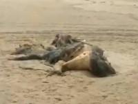 Μυστηριώδες πλάσμα 4,5 μέτρων ξεβράστηκε σε παραλία