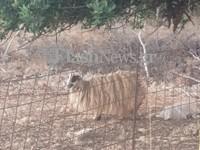 Αμαρτία για το καημένο πρόβατο στα Χανιά -