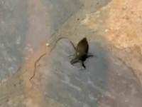 Δηλητηριώδες σκαθάρι τρόμαξε τον Πλαταμώνα - Κάτοικοι κατέγραψαν Λιθόκερο 10 εκατοστών