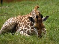 Πόσο ύπνο χρειάζεται μια καμηλοπάρδαλη
