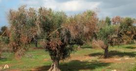 Συναγερμός! Εξαπλώθηκε εκτός Ιταλίας το βακτήριο που ξεραίνει τις ελιές