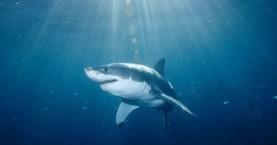 Κατέσχεσαν 200.000 πτερύγια καρχαρία στον Ισημερινό
