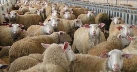 Στη Ρωσία μοιράζουν 1.000 πρόβατα σε πολυμελείς οικογένειες