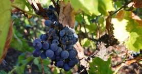 Αιτήσεις για άδειες νέων φυτεύσεων αμπέλου στην ΠΕ Χανίων