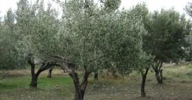 ΣΕΔΗΚ: «Χάθηκαν» 25.000 τόνοι ελαιολάδου από τον καύσωνα της Άνοιξης