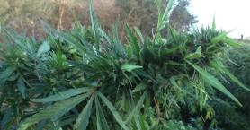 Εντοπίσθηκαν φυτείες με περισσότερα από 1.200 δενδρύλλια ινδικής κάνναβης