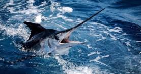 Απαγόρευση αλιείας των ειδών Μακρύπτερου τόνου και Ξιφία