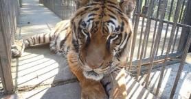 Πέθανε ο Φοίβος, η τίγρης των Τρικάλων