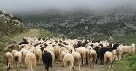Αλ. Μαρκογιαννάκη: Έως τέλη Αυγούστου η πληρωμή άμεσων ενισχύσεων των κτηνοτρόφων