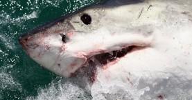 Καρχαρίας επιτέθηκε σε κολυμβητή, που παλεύει για τη ζωή του
