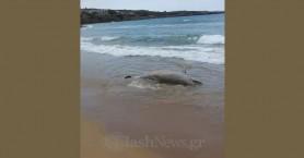 Είδαν νεκρό δελφίνι να ξεβράζεται σε παραλία των Χανίων (φωτο)