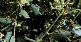 Στοιχεία για ενιαίο αίτημα αποζημιώσεων στις ελιές ζητά ο ΣΕΔΗΚ από δήμους