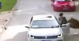 Πεκίνο: Τίγρης κατασπάραξε γυναίκα! (βίντεο)