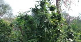 Φυτεία κάνναβης βρέθηκε σε περιοχή του Δήμου Μυλοποτάμου