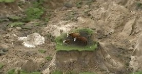 Δείτε τι έπαθαν τρεις αγελάδες από τον σεισμό στη Νέα Ζηλανδία