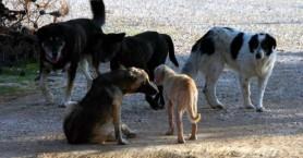 Αγέλη αδέσποτων σκυλιών στους Αγίους Αποστόλους τραυμάτισε οδηγό δικύκλου