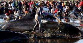 Εκατοντάδες φάλαινες ξεβράστηκαν στην ακτή της Νέας Ζηλανδίας! (βίντεο)