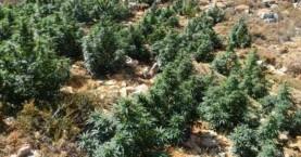 Νέες φυτείες κάνναβης εντοπίστηκαν στα Χανιά