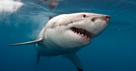Σε προστατευόμενο είδος ανήκει ο καρχαρίας που έπιασε Κρητικός ψαράς