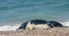 Κουφάρι αγελάδας στην παραλία του Κουμ Καπί στα Χανιά