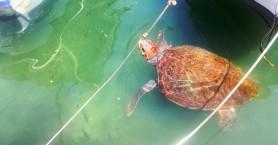 Μασκότ οι τρεις χελώνες στο ενετικό λιμάνι των Χανίων! (φωτο)