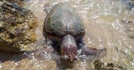Νεκρή θαλάσσια χελώνα στην παραλία του Καλαθά στα Χανιά (φωτο)