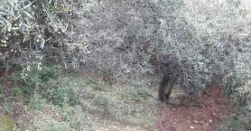 1.000 στρέμματα ελαιόδεντρων καταστράφηκαν μεσα σε 20 λεπτά (φωτο)