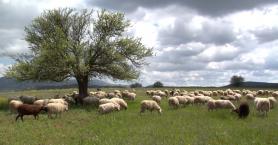 Δήμος Αγ. Νικολάου: Μάστιγα η παράνομη βόσκηση σε καλλιέργειες
