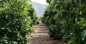 Αν ενδιαφέρεσαι για την καλλιέργεια Αβοκάντο μη χάσεις αυτό το σεμινάριο