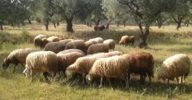 Αποζημιώσεις του ΕΛΓΑ σε δικαιούχους κτηνοτρόφους στην Κρήτη