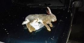 Τον έπιασαν με τον λαγό στο αυτοκίνητο