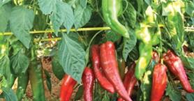 Στα 1,10 με 1,20 η τιμή παραγωγού για την κρητική πιπεριά Φλωρίνης
