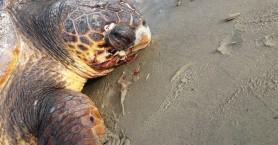 Χανιά: Βρήκαν βαριά χτυπημένη χελώνα σε παραλία στον Βλητέ (φωτο)