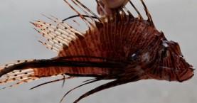 Λεοντόψαρο πιάστηκε στην Γραμβούσα Κισάμου (φωτο)
