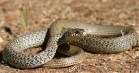 Φίδι εισβάλει σε φοιτητική εστία, καταλήγει… στην κατσαρόλα