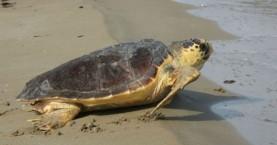 Σε σοβαρή κατάσταση παραμένει η χελώνα καρέτα καρέτα που βρέθηκε στη Σούδα
