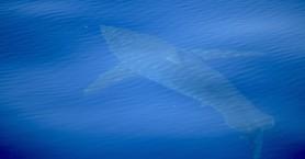 Λευκός καρχαρίας 5 μέτρων... τρομοκράτησε τη Μαγιόρκα