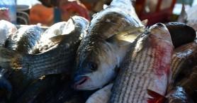 Βρέθηκε τεράστια ποσότητα με ακατάλληλα κατεψυγμένα ψάρια