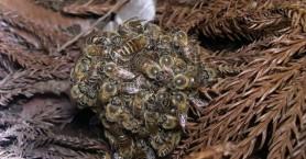 Οι ιαπωνικές μέλισσες που αυτοθυσιάζονται