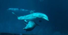 Πώς οι άνθρωποι καταστρέφουν τη… σεξουαλική ζωή των δελφινιών