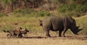 Δεν φαντάζεστε με τι τρόπο προσπαθεί αυτός ο ρινόκερος να διώξει τις ύαινες