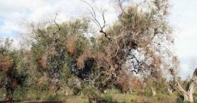 SOS: Νέα εμφάνιση του βακτηριδίου που ξεραίνει και τα ελαιόδεντρα