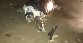 Νεκρή χελώνα ξεβράστηκε στην παραλία της Αγίας Μαρίνας (φωτο)