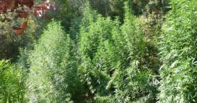 Εντοπίστηκε φυτεία δενδρυλλίων κάνναβης στο Μυλοπόταμο