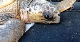 Διάσωση χελώνας στη Χρυσή Ακτή (βίντεο + φωτο)