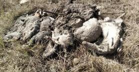 Διατηρούν τις επιδοτήσεις τους κτηνοτρόφοι που χάνουν ζωικό κεφάλαιο λόγω
