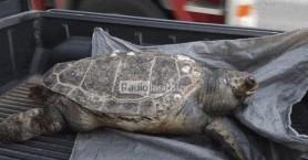 Το κύμα ξέβρασε άλλη μία νεκρή χελώνα (φωτο)