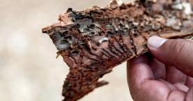 Αυτό είναι το «έντομο-φονιάς» που τρώει τα δέντρα στο Σέιχ Σου